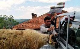 Şehit ailesi kampanyaya koyun bağışladı