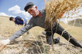 Şehit babasının tarlasını gençler hasat etti(Video)