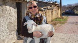 Vicdansızlar Şehit annesinin koyunlarını çaldılar